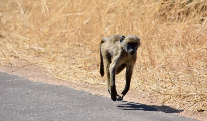 A monkey running on the road.