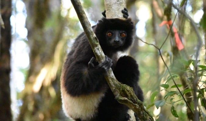 a lemur in Madagascar