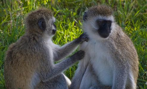 A duo of vervet monkeys applying economic theory.