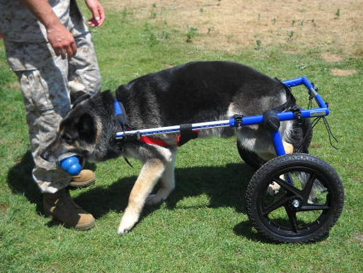 Rocky lost the use of his hind legs during his service as a military working dog. To assist his chances for adoption, he has been outfitted with a dog wheelchair.