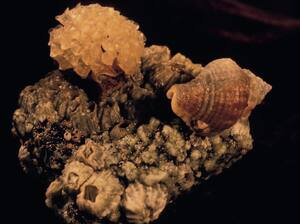 A male Solenosteira macrospira, left, carries snail eggs on its shell. But not all of the eggs were fertilized by him. Females, like the one on the right, deposit the eggs into papery capsules and attach them to the males' shells.