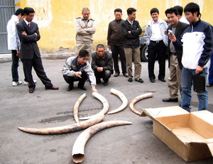 Asian demand for ivory fuels the illegal poaching of elephants in Africa. A leading source of ivory is Tanzania, including these tusks confiscated in 2009 in Haiphong, Vietnam.