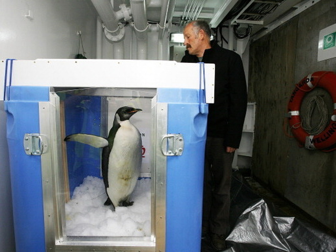 "The original ""Happy Feet"" ready for release aboard The New Zealand research vessel Tangaroa in Aug. 2011."