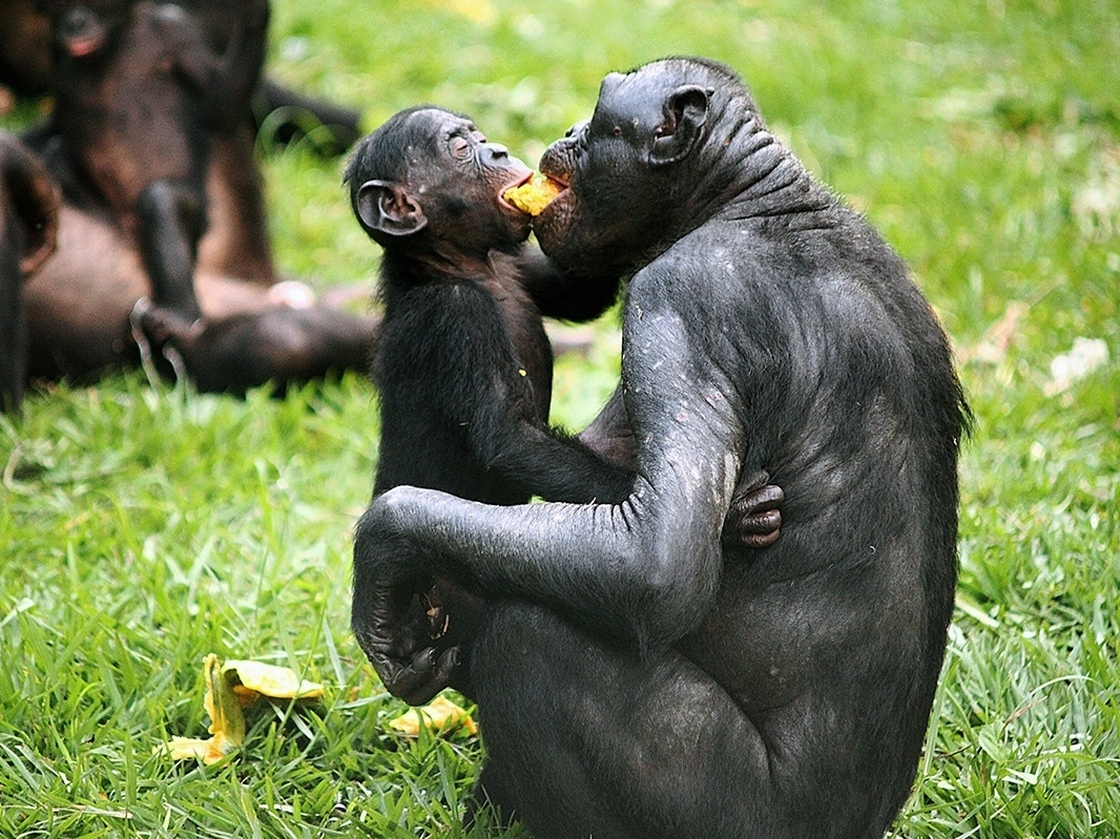 Bonobos share a piece of fruit at the Lola ya Bonobo sanctuary in the Democratic Republic of Congo.