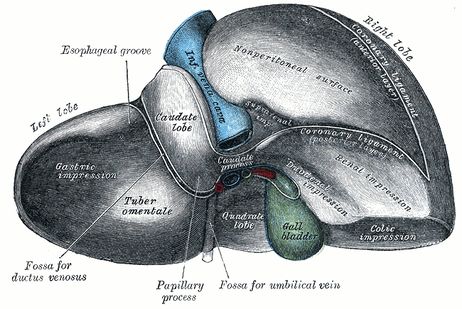 Not quite yet: A human liver contains bile ducts connecting to the gall bladder. The proto-livers made in the lab are missing these tubes.