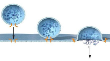 How does insulin get into the blood? The hormone (dark blue) is carried to the cell surface in a bubble-like compartment, called a vesicle. When the vesicle binds with the cell membrane, it pops open and releases the insulin.