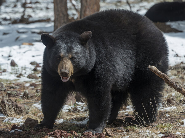 Populations of black bear in particular are spiraling upwards in many parts of the northern half of the U.S., as roads, homes and camping spots infringe on bear territory.