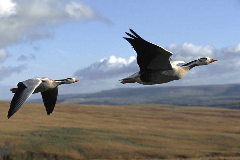 Bar-headed geese tend to follow the sharp ups and downs of the Himalayas as they migrate, research finds.