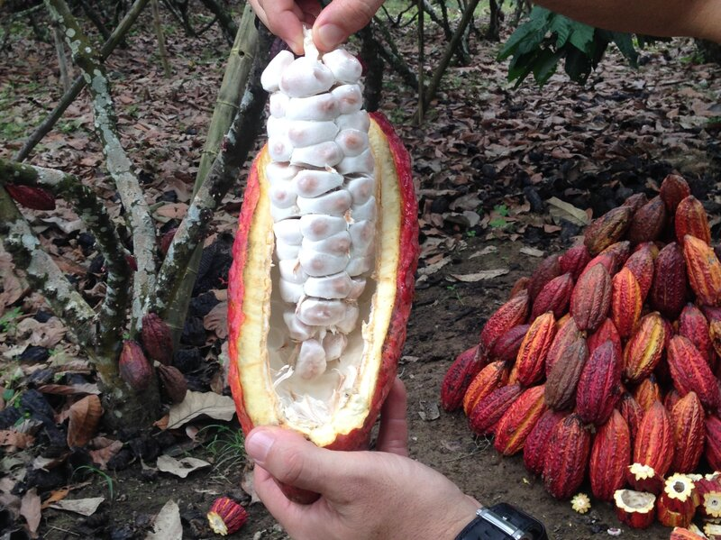 A new breed of cocoa: CCN-51