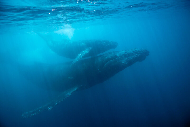 Humpback whale and calf, off the Revillagigedo Islands, Mexico.