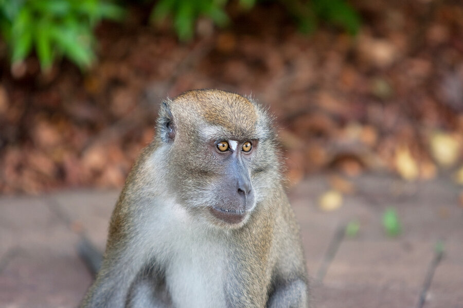 Image result for monkey mouths and throats are equipped to talk like us