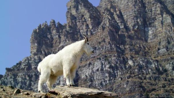 The National Park Service is considering relocating some goats and shooting others. They say the animals are damaging the environment and threatening people at Olympic National Park.