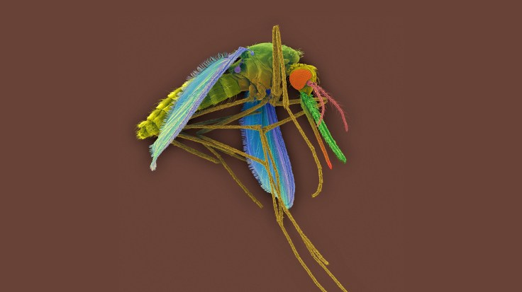 A colored scanning electron micrograph of a female Anopheles mosquito, a vector for the malaria parasite Plasmodium vivax.