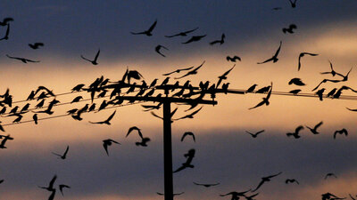 Crow Murders In Idaho Are Nothing To Squawk About: Human Scarecrows Try To Divert Bird Invasion
