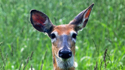 Hungry Deer May Be Changing How Things Sound In The Forest