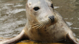 A New Hope: Seal Learns To Sing Star Wars Theme