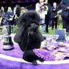 Siba The Standard Poodle Westminster Crown İçin Hayranların Favorisi Daniel'i Geçti