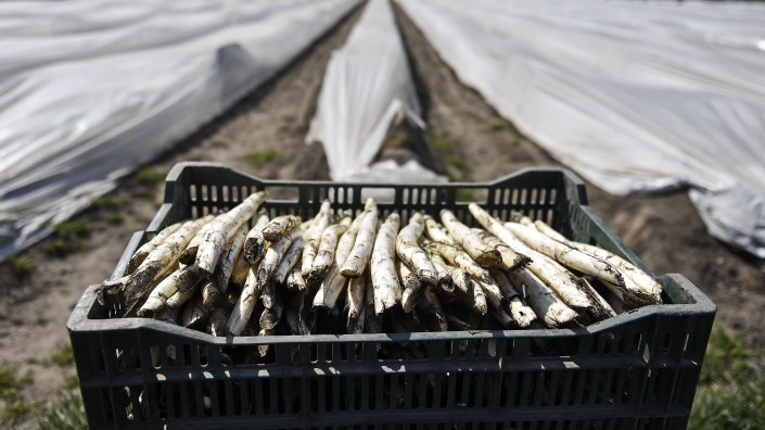Fresh asparagus is pictured in a basket at a field in Bottrop, Germany, in mid-April. Farms across Europe are facing a labor shortage as a result of closed borders due to the coronavirus pandemic.