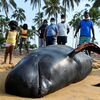 Sri Lankan navy, villagers rescue 120 whales after mass stranding