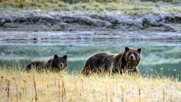 A Grizzly bear mother and her cub walk near Pelican Creek in 2012 in Yellowstone National Park in Wyoming.