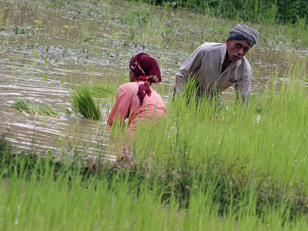 Farmers in Thailand tend to a rice paddy in Yala province.