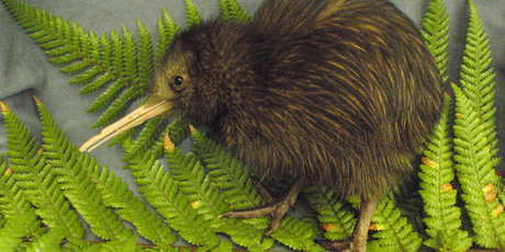 The starving kiwi chick