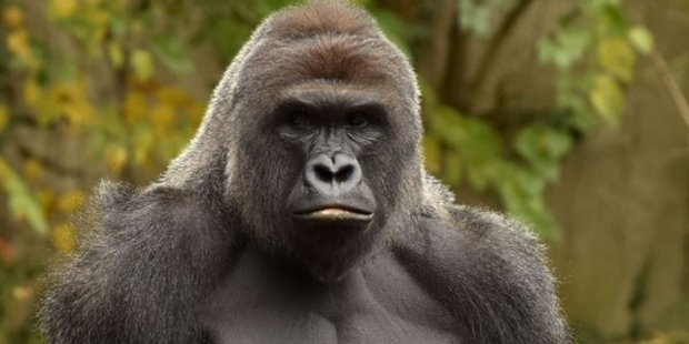 Harambe, a western lowland gorilla, was fatally shot at the Cincinnati Zoo and Botanical Garden. Photo / Supplied