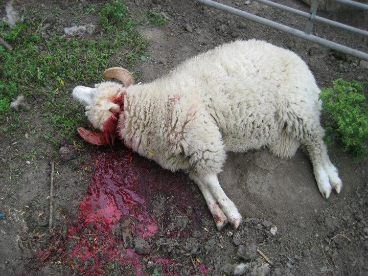 Bildergebnis für Bilder zu Schafen beim schlachten