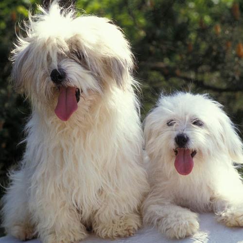 petit chien blanc liste de races ooreka