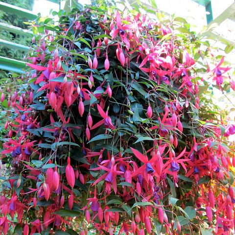 plante vivace a feuillage persistant
