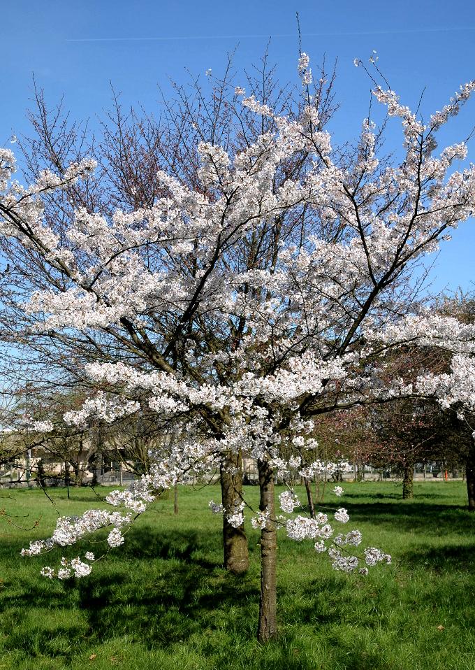 cerisier du japon planter et