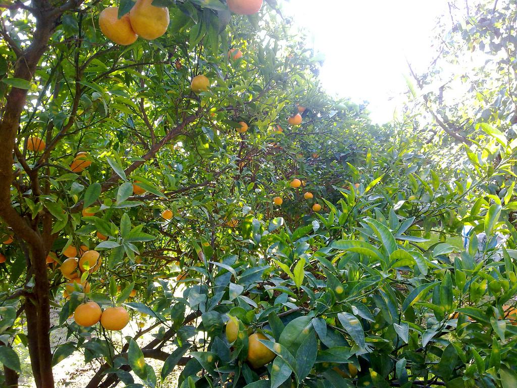 Mandarinier Planter Et Tailler Ooreka