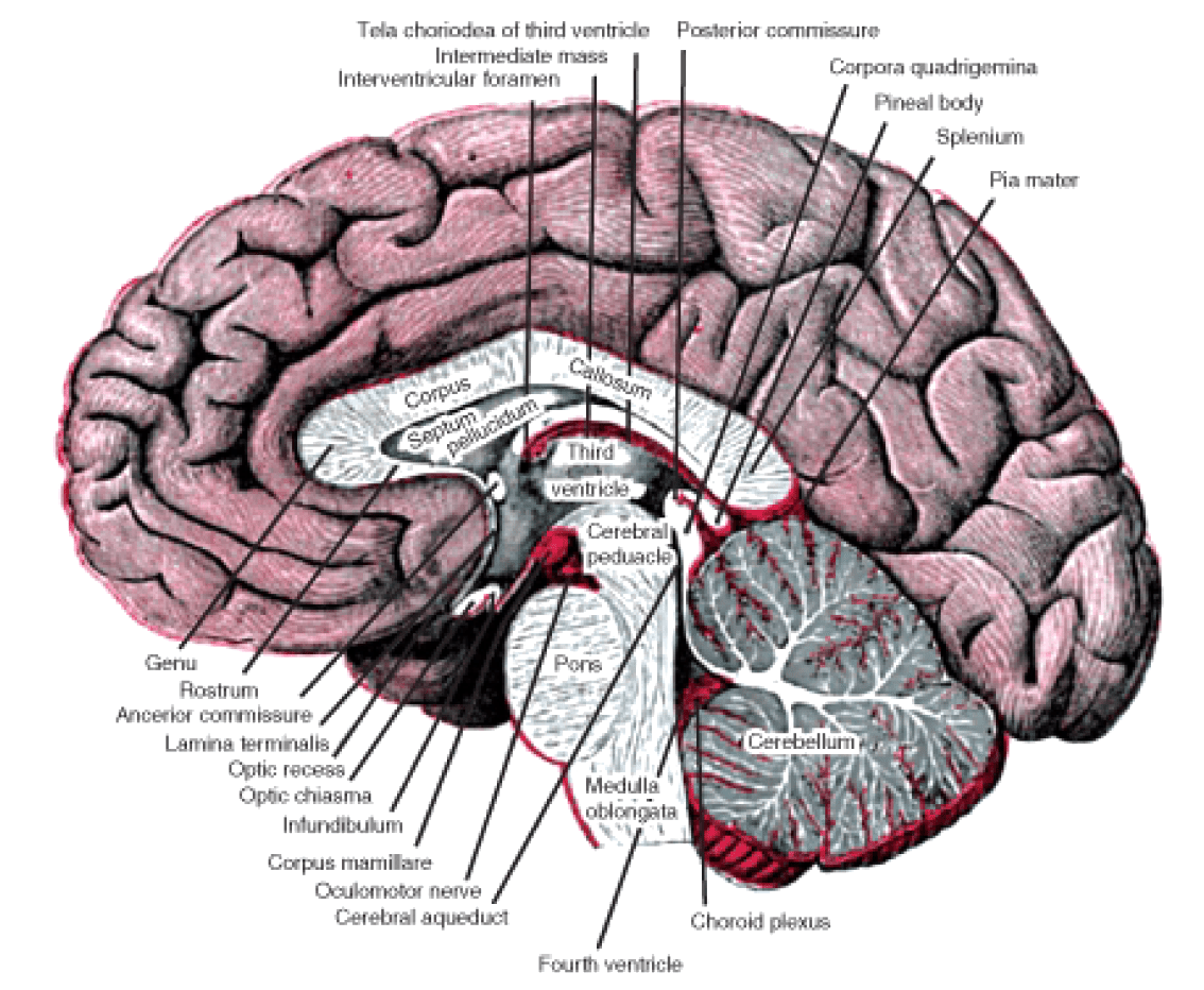The Nervous System Opencurriculum