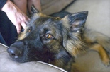 Service Dogs for Autistic Persons