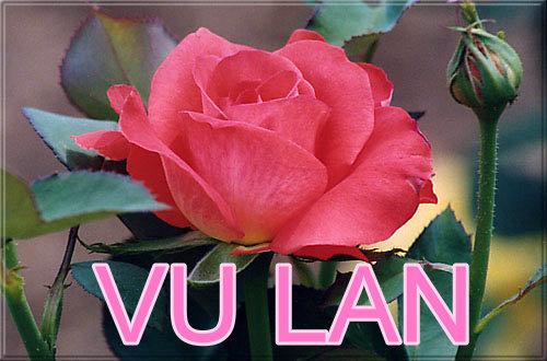 Kết quả hình ảnh cho hoa hồng vu lan