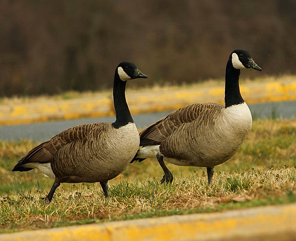 Image result for canada geese mates