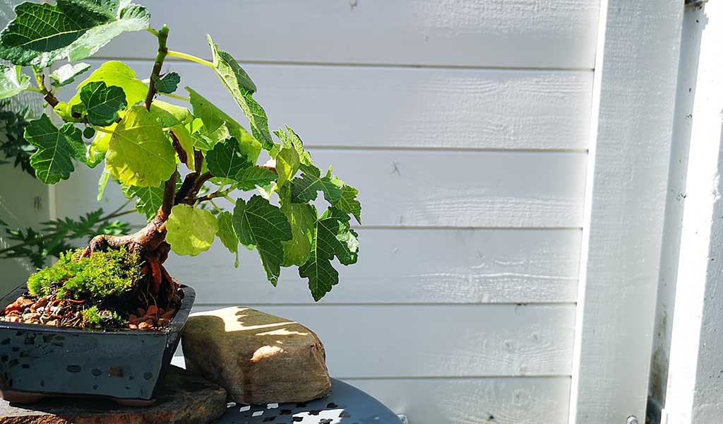 fig tree bonsai pruning and repotting
