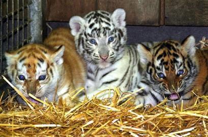 Tiger.Cubs