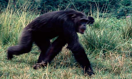 Chimpanzee used to illustrate the story (Photo courtesy: Guardian UK)
