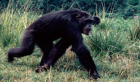Chimpanzee used to illustrate the story (Photo courtesy: Guardian UK)