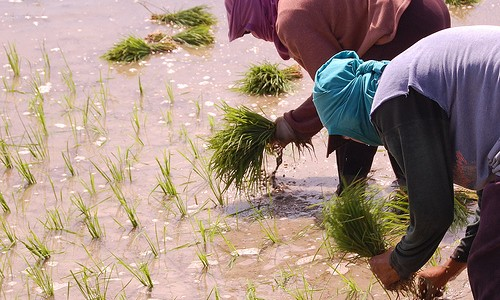 Rice Farmers Photo Credit: Agro Nigeria