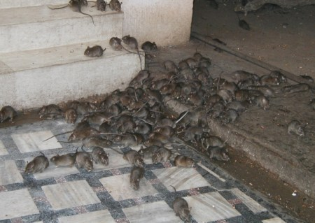 Rats used to illustrate the story.