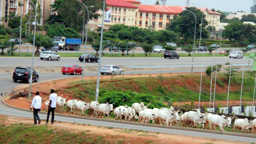 Cattles grazing in Abuja, Nigeria's capital territory. [Photo credit: Sahara Reporters]