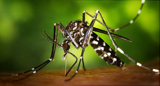 Mosquito used to illustrate the story. Photo: WebMD