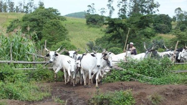 Cattle on farm [Photo: View Point Nigeria]