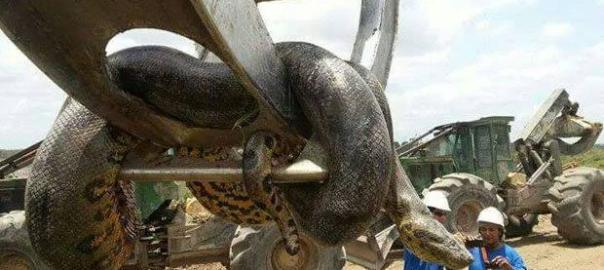 A picture of a large python used to illustrate the story (Photo: dailystar.co.uk)