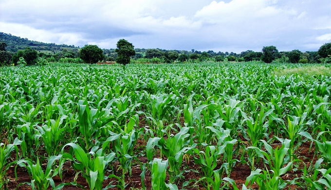 A Maize farm [Photo: HapaKenya]