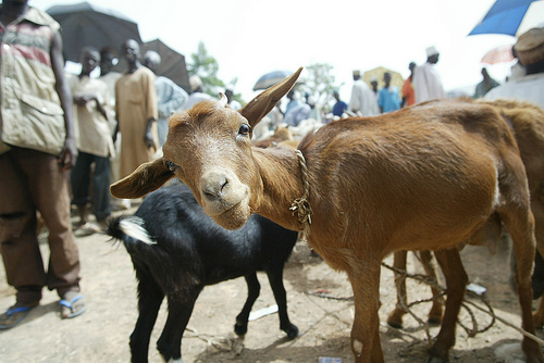 Picture of a goat used to illustrate the story [Photo: PM News Nigeria]