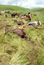 Cows lying dead after the Mambilla Plateau attack