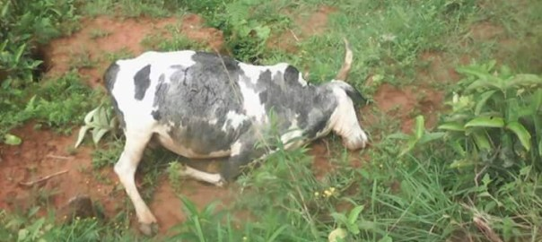 FILE: A cow lying lifeless used to illustrate the story